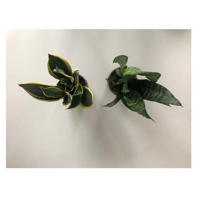 Planten die 's nachts zuurstof afgeven